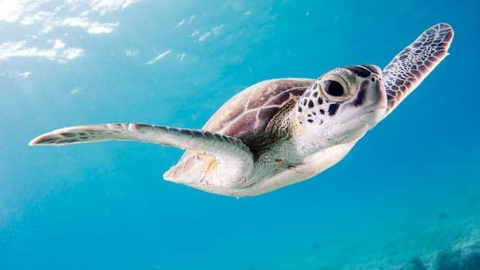 צב ים שוחה - לה רומנה, הרפובליקה הדומיניקנית