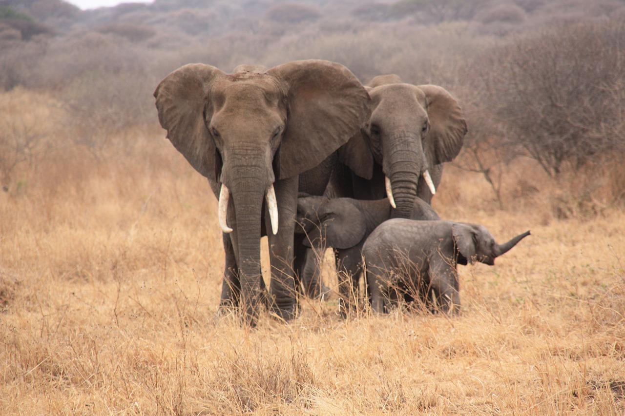 משפחת פילים בספארי - זנזיבר